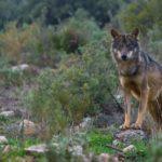 Lobo iberico Malcata